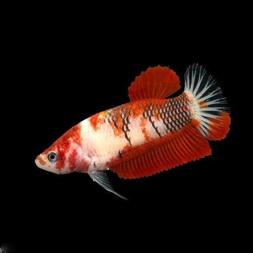 (熱帯魚) 鯉ベタ・ハーフムーンプラガット コイカラー メス(赤系)(1匹) 本州・四国限定[生体]