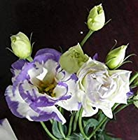 ASTONISH SEEDS:16 : Hot 2017 New Arrl 50 pcs/pack Lisianthus Seeds 25 Colors Collection Bonsai Lisianthus Flower Seeds For Home Garden 16