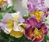 大輪パンジー 花ろまん フリルシリーズ 「シャロン・ド・ヒロコ」 10.5cmサイズ大ポット 1ポット パンジー ビオラ すみれ 苗 寄せ植え