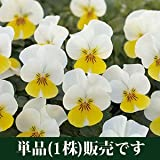 ビオラ フローラルパワー クリームイエローリップ 10.5cmサイズ大ポット 1ポット パンジー ビオラ すみれ 苗 寄せ植え