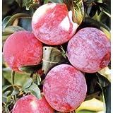 スモモ(プラム):彩の姫(さいのひめ)4.5号ポット[まるで桃のような食感!おいしいすもも] ノーブランド品