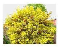 盆栽の種レッドエルダーベリーサンブカスRacemosa観賞用低木50