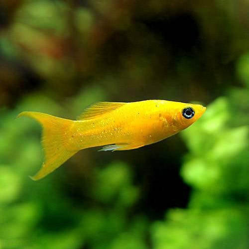 (熱帯魚)ブラッドオレンジライヤーテール・モーリー(4匹) 本州・四国限定[生体]