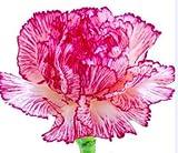 100個/袋、カーネーションの種、カーネーション、鉢植えの植物、季節を植え、顕花植物