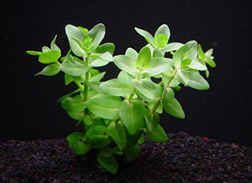 ウォーターバコパ (5本) ◆ミントの香りの葉◆ 無農薬