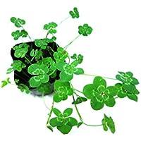 四つ葉のクローバーの苗/二つ葉、三つ葉、四つ葉、五つ葉、六つ葉、七つ葉、八つ葉、九つ葉、十枚葉を確認