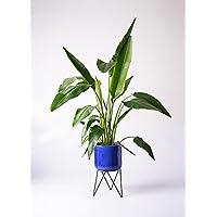 HitoHana(ひとはな) 旅人の木8号 ビトロエンデカ鉢カバースタンド付ブルー