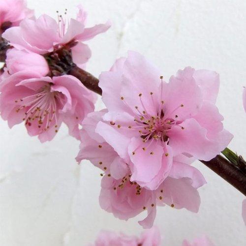 RoomClip商品情報 - モモ(桃):しだれ桃照手水蜜(テルテスイミツ) 5号ポット[美しい枝垂れ花桃 花も果実も楽しめます]