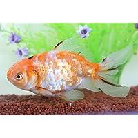 (国産金魚)現物個体!桜東 約10cm (生体1022-10)
