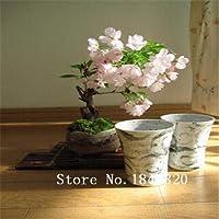 Amarillo:Sakura Bonsai Semillas 30個10個Tipos Mezclan Novela Planta Semillas De Floresパラ・エル・ジャール&イラクーテ; N Del Env&イラクーテ;オー