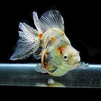 【金魚王子】キャリコブロードテール琉金 2才 (16cm前後) 個体番号:asd252 (金魚 生体 水槽に彩りが加わります!厳選個体)