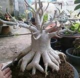 """203.美しい花を咲かせることから砂漠のバラと呼ばれるアデニウム。その中でも王様的な存在の """"アデニウム・ソコトラナム"""" 幹周りが超太くなるタイプ!!私のブログで播種から栽培実験中。 [並行輸入品]"""