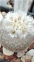 150個希少な混合サボテンの植物サボテンの種子の生石の石膏有機栽培多肉植物のバルコニー花の植え付け:9