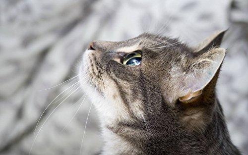 猫焦点 キャンバスの 写真 ポスター 印刷 動物 (75cmx50cm)