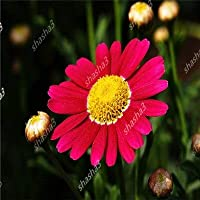 バイオレットデイジー100 / PESデイジー盆栽美しい花植物の家の装飾:1