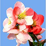 木瓜[ボケ]:高嶺錦(タカネニシキ)3~4号ポット 2株セット[鉢植え・盆栽向き]