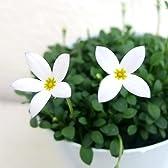 ヒナソウ(雛草):白花2.5号ポット2株セット