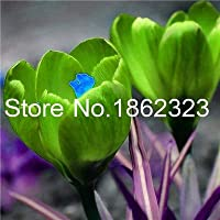サフランの花のないサフラン輸入200個、盆栽花イランクロッカス鉢植えのホームガーデンフロールの場合:12