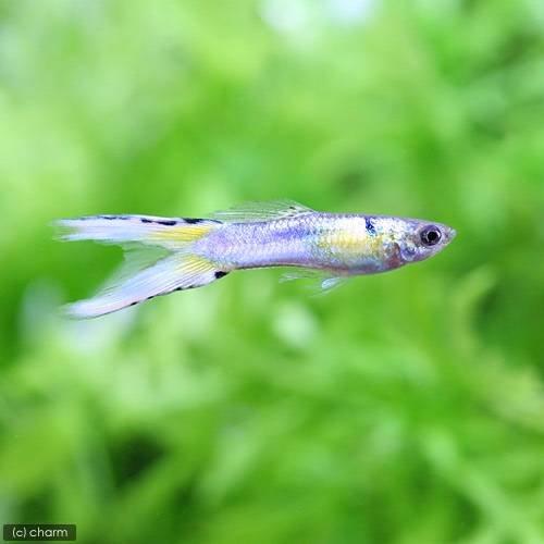 charm(チャーム) (熱帯魚) プラチナジャパンブルーダブルソード・グッピー(国産グッピー)(1ペア) 【生体】