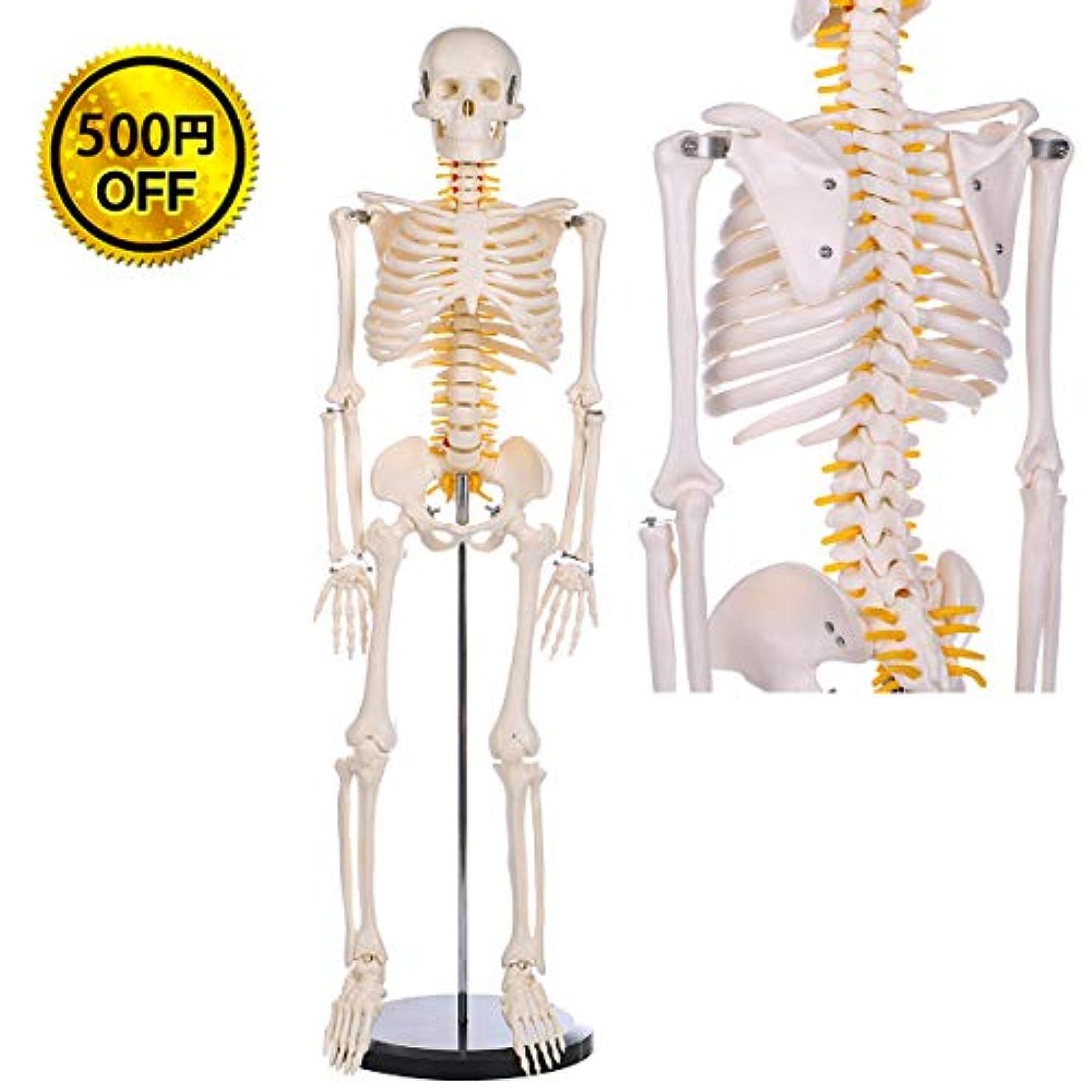 広告生態学不振【WETRY】人体骨格模型 1/2人体モデル 全身骨格模型 直立 教材 医学 1/2 モデル 85cm 脊髄神経根 椎骨動脈スタンド付き