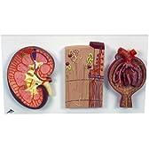 腎臓/ネフロンと血管/腎小体セット