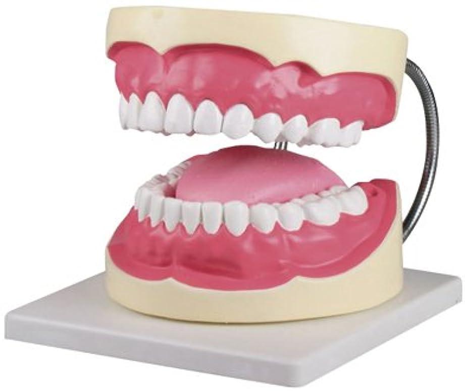 印象的焦がすジャーナル歯磨き(口腔ケア)指導模型3倍大 D216 ?????(??????)???????(24-6839-01)【エルラージーマー社】[1個単位]
