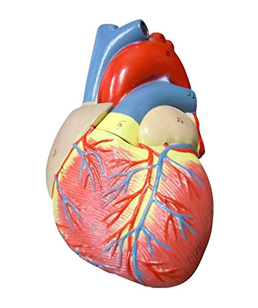 常習者スープ安心させる【AedoE】解剖学 心臓模型 1:1 実物大 医療説明 学習 研修 右心室 右心房 左心室 左心房 人体模型 各部位配色【スタンド付き】