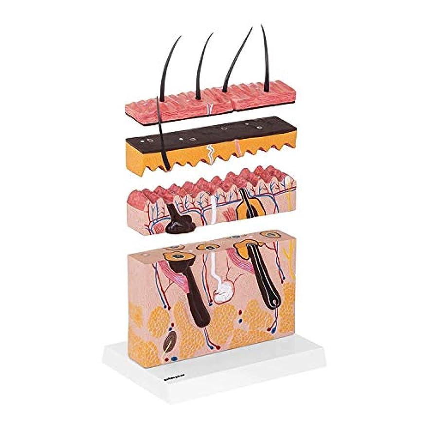 談話端末聖職者教育モデル解剖モデル人間の皮膚モデル解剖3Dモデルの表示カップ内の拡大皮膚科、精密医療、プラスチック