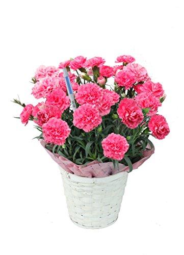 【産地直送】母の日カーネーション・ピンク 5号鉢バスケット・水分計つき