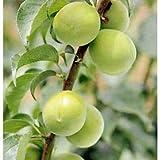 ウメ(梅):かがじぞう(加賀地蔵)4~5号ポット[中梅・青梅で収穫する品質良好な品種 苗木] ノーブランド品