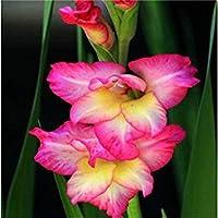 種子パッケージ: ビッグセール異なるグラジオラス花の種、1プロフェッショナルパック、500個の種子/パック、レアユリシーズ