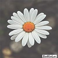 100PCS /バッググラウンド・カバーchrythemumガーデン、chrythemum多年生盆栽花は家のためのデイジー鉢植えをフローレス:12