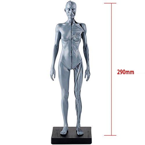人体模型 筋肉模型 高品質解剖模型 30cm 医学模型 人体解剖 医学教育 整形外科 男性 / 女性 女性