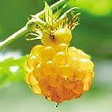 国華園 果樹苗 昔懐かしい果樹 モミジイチゴ 1株【※発送が国華園からの場合のみ正規品です】