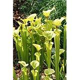 【種子】Sarracenia Flava ★サラセニア・フラバ/キバナヘイシソウ◎直立して高さ120cmにも達する多年生草本の食虫植物◆5粒♪