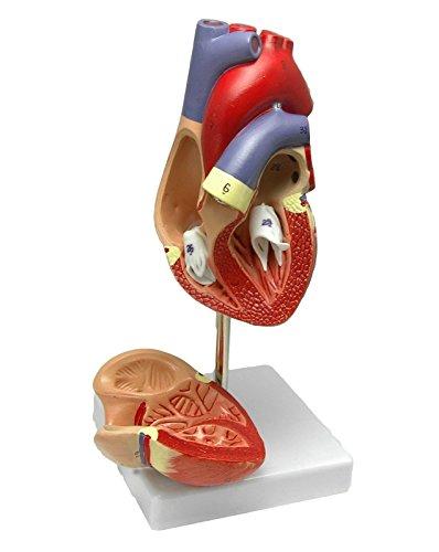 ハート 心臓模型 医療説明 学習 研修 プレゼン用 実物大 モデル