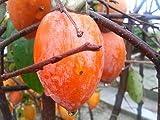 柿 苗 筆柿 1年生 接ぎ木 苗 果樹苗木 果樹苗