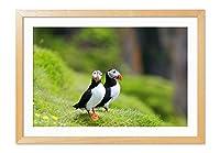 緑の牧草地における二ツノメドリ 動物の写真木製額縁アートポスター(30cmx40cm 原色)