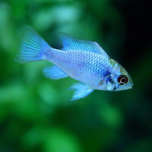 (熱帯魚)コバルトブルーラミレジィ(約4cm)<1匹>[生体]