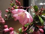 桜苗 花海棠桜