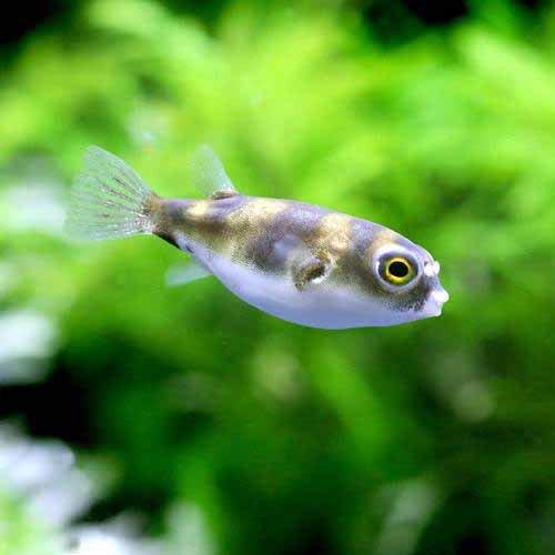 (熱帯魚)南米淡水フグ Sサイズ(1匹) 北海道・九州・沖縄航空便要保温