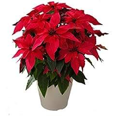 ポインセチアでクリスマス気分♪お取り寄せのおすすめを教えて