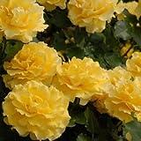 バラ苗 ゴールドバニー 国産大苗裸苗 フロリバンダ(FL) 四季咲き中輪 黄色系