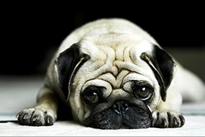 Pug Animal - #27948 - キャンバス印刷アートポスター 写真 部屋インテリア絵画 ポスター 90cmx60cm