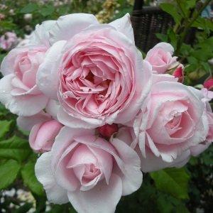 バラ苗 ナエマ 国産大苗デルバールオリジナル角鉢6号 四季咲き ピンク系 つるバラ(CL) フレンチローズ(デルバール)