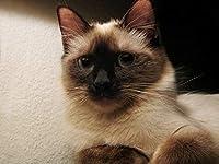 芸術はポスターを印刷します - ねこ子猫シャム斑灰色 - キャンバスの 写真 ポスター 印刷 (80cmx60cm)