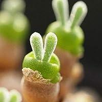 100種子/パック多肉植物種ウサギ形種子Monilaria obconica bunny see