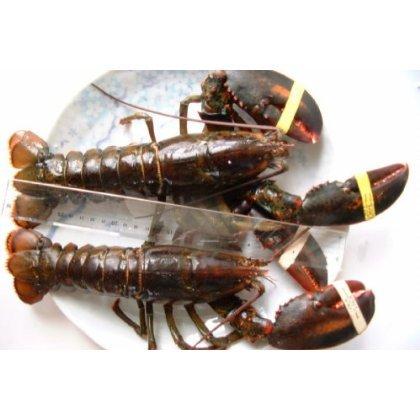 高級特大活オマールエビ(ロブスター)(500g~550g)2尾[カナダ産]刺身