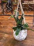 観葉植物 コウモリラン プラティケリウム・ビフルカツム ハンギングポット 【希少・珍種】