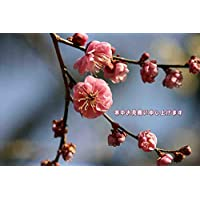 【季節冬ポストカードAIR】「寒中お見舞い申し上げます」梅のフォトカードポストカードハガキはがき絵葉書postcard-